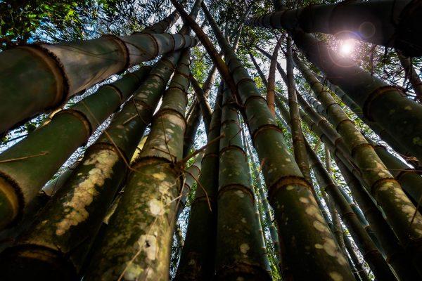 looking up at bamboo trees