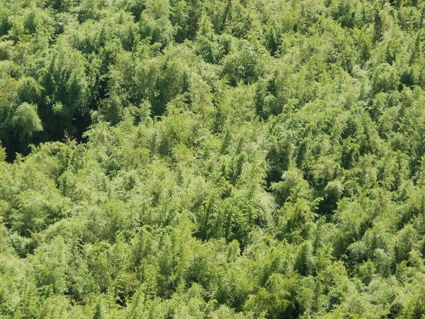 Bamboo forest aerial